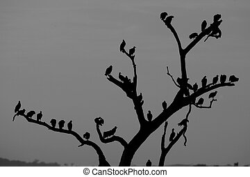 Black vulture, Coragyps atratus, group of birds at roost,...