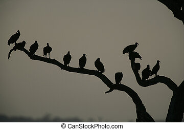 Black vulture, Coragyps atratus, group of birds at roost,...