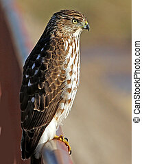 Coopers Hawk juvenile - Coopers Hawk Accipiter cooperii...