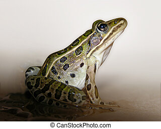 Frog - A leopard frog isolated from its environment.