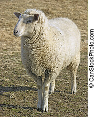 Sheep - A sheep satnding in a field