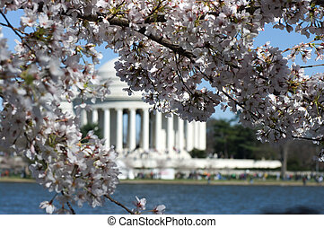 Jefferson cherry - Cherry blossom around the tidal Basin in...