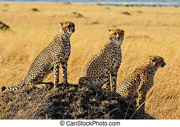 Masai Mara Gepard - Three Cheetahs in Masai Mara National...