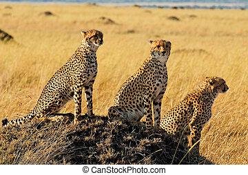 Masai Mara Gepard - Three Cheetahs in Masai Mara National...