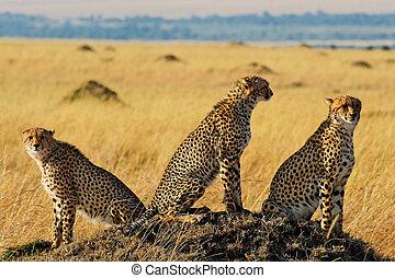 Masai Mara Cheetahs - Three cheetah brothers in Masai Mara...