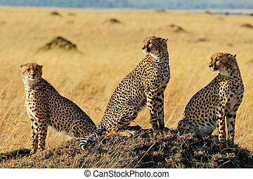 Three Cheetah Brothers - Three cheetah brothers in Masai...