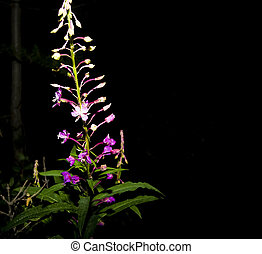 Fireweed on Dark Background