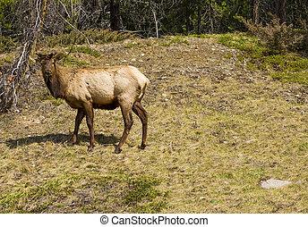 Elk in the Wilderness