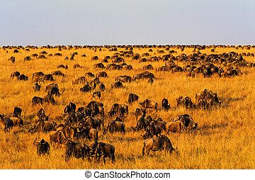 Masai Mara Wildebeest Migration - Wildebeest migration in...