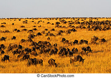 Countless Wildebeest in Masai Mara - Countless wildebeest...