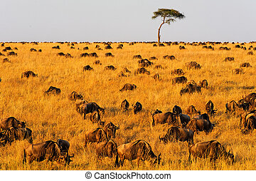 Migrating Wildebeest in Masai Mara - Migrating wildebeest in...