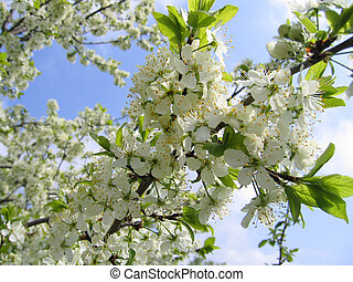 Branch of a blossoming tree - Blossoming tree with white...