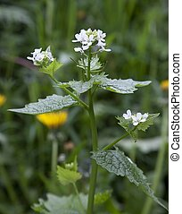 Hedge Garlic, Alliaria petiolata - Hedge Garlic (Alliaria...