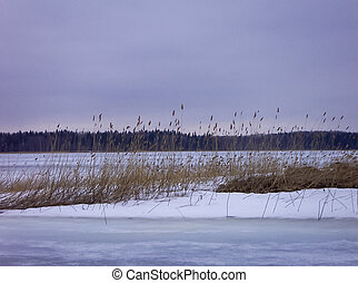 Reed on the lake, covered with ice. Cloudy weather.