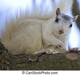 White Squirrel on Limb - White squirrel on a tree limb in...