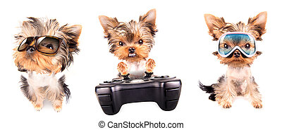 Puppy yorkshire terrier set - Puppy yorkshire terrier set on...