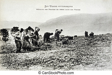old postcard In Vosges, harvesting potatoes...