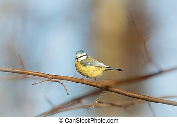 Blue tit Parus caeruleus on a background of blue sky