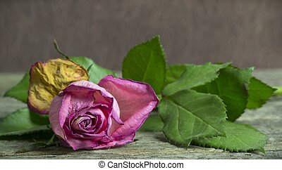 A Withering Pink Rose - Withering pink rose lying on a...