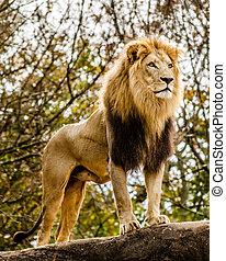 retrato, macho, león