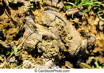 dry cow dung and fly is dirty subject which yield manure organic fertilizer in farm asia