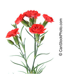 red carnation - a red carnation branch isolated on white...