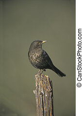 Blackbird, Turdus merula, single female on post