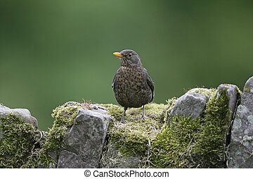 Blackbird, Turdus merula, single bird on rock