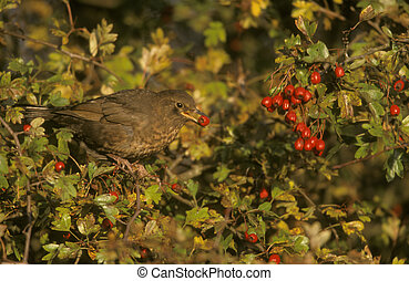 Blackbird, Turdus merula, single female on hawthorn