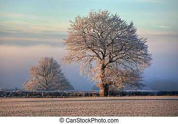 Oak with hoar frost, Cotswolds - Hoar frost on farmland near...