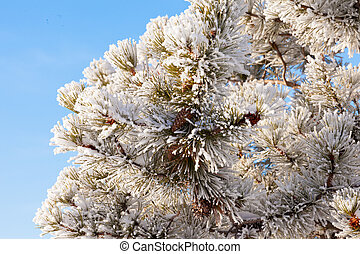 Winter pine tree detail hoar frost snow covered - Winter...