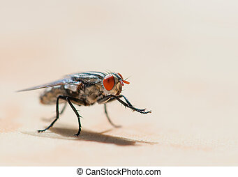 flesh fly (Sarcophagidae) grooming