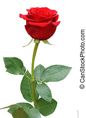 a single red rose flower isolated on white background
