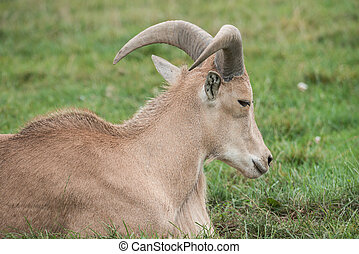 Mountain goat in a wild zoo - Mountain goat on a field in a...