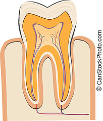 Human tooth - In a cut a human tooth - dentistry Vector...