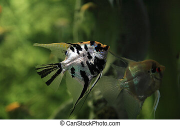 Fish In Aquarium - Pair scalars in aquarium on green...