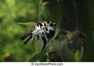 Fish In Aquarium - Pair scalars in aquarium on green...