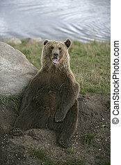 European brown bear, Ursus arctos - European brown bear,...