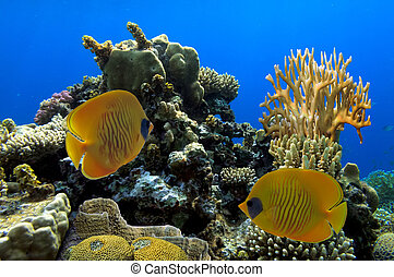 Masked butterfly fish  in the Red Sea.Egypt