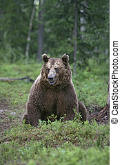 European brown bear, Ursus arctos arctos, single mammal in...