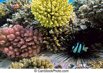 Black sea urchin and Humbug dascyllus - Black sea urchin and...
