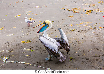 South American Pelican on Ballestas Islands in Peru,Paracas...