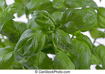 Fresh basil, format filling closeup