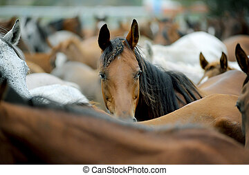 arabian horses herd