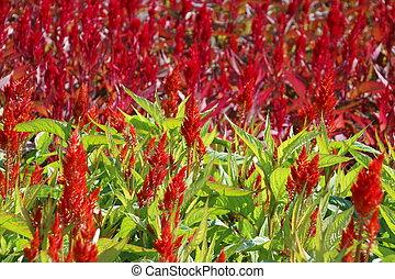 Celosia, Plume celosia, Wool flower - Celosia, Plumed...