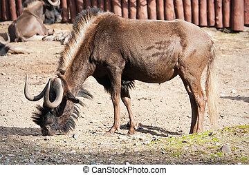 Wildebeest - Portrait of hungry African Wildebeest in zoo