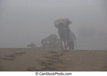 camello, Safari, 3