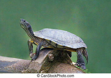 Red-eared slider on an iron pipe - A closeup picture of a...