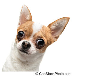 Funny Chihuahua peeping out the frame, against white...