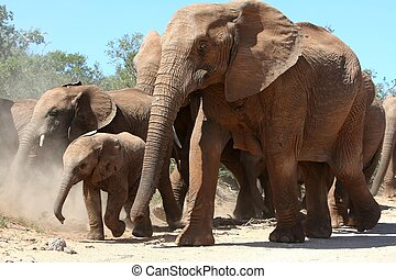 African Elephants - African elephant mother and baby moving...